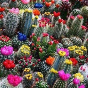 beautiful flowers from the cactus plant